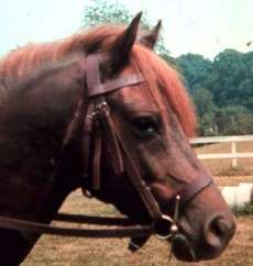Jehan - The first stallion in the United States